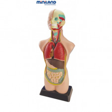 Miniland Anatomy Set Assembled